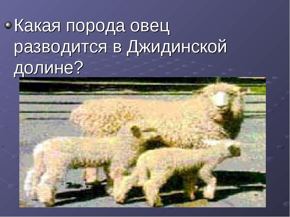 Какая порода овец разводится в Джидинской долине?