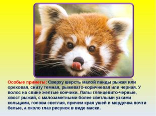 Особые приметы: Сверху шерсть малой панды рыжая или ореховая, снизу темная, р