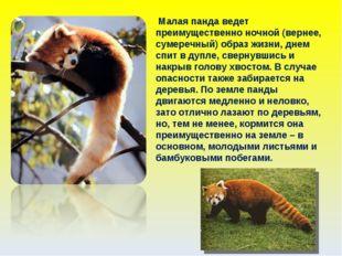 Малая панда ведет преимущественно ночной (вернее, сумеречный) образ жизни, д