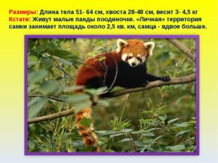 Размеры: Длина тела 51- 64 см, хвоста 28-48 см, весит 3- 4,5 кг Кстати: Живут