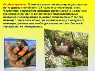 Особые приметы: Почти все время ленивцы проводят, вися на ветке дерева спиной
