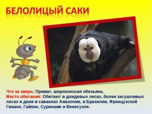 Что за зверь: Примат, широконосая обезьяна. Место обитания: Обитают в дождевы