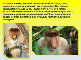 Размеры: Размер носачей достигает от 66 до 75 см, хвост примерно столь же дли