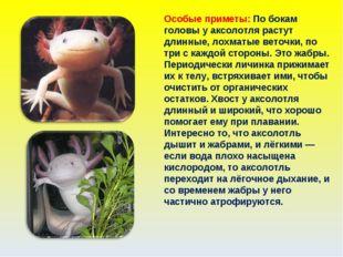 Особые приметы: По бокам головы у аксолотля растут длинные, лохматые веточки,