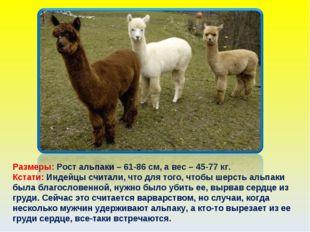 Размеры: Рост альпаки – 61-86 см, а вес – 45-77 кг. Кстати: Индейцы считали,