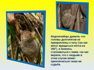 Индонезийцы думали, что головы долгопятов не прикреплены к телу (так как могу