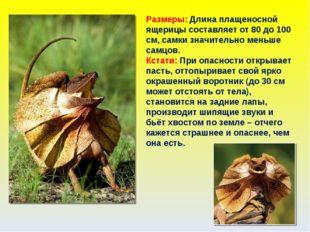 Размеры: Длина плащеносной ящерицы составляет от 80 до 100 см, самки значител