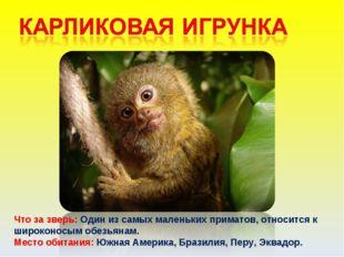 Что за зверь: Один из самых маленьких приматов, относится к широконосым обезь