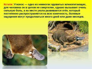 Кстати: Утконос — одно из немногих ядовитых млекопитающих, для человека он в