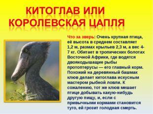 Что за зверь: Очень крупная птица, её высота в среднем составляет 1,2м, разм