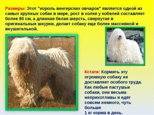 """Размеры: Этот """"король венгерских овчарок"""" является одной из самых крупных соб"""