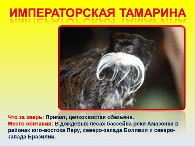 Что за зверь: Примат, цепкохвостая обезьяна. Место обитания: В дождевых лесах...