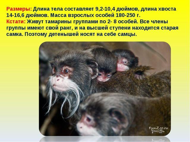 Размеры: Длина тела составляет 9,2-10,4 дюймов, длина хвоста 14-16,6 дюймов....