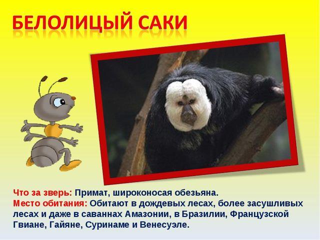 Что за зверь: Примат, широконосая обезьяна. Место обитания: Обитают в дождевы...