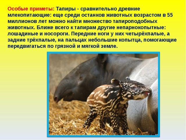 Особые приметы: Тапиры - сравнительно древние млекопитающие: еще среди останк...