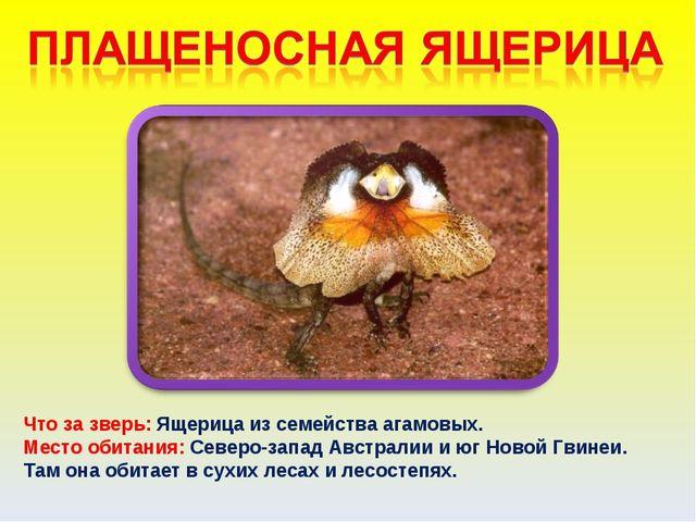 Что за зверь: Ящерица из семейства агамовых. Место обитания: Северо-запад Авс...