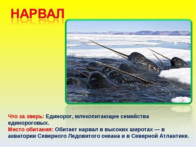 Что за зверь: Единорог, млекопитающее семейства единороговых. Место обитания:...