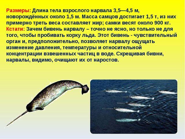 Размеры: Длина тела взрослого нарвала 3,5—4,5 м, новорождённых около 1,5 м. М...