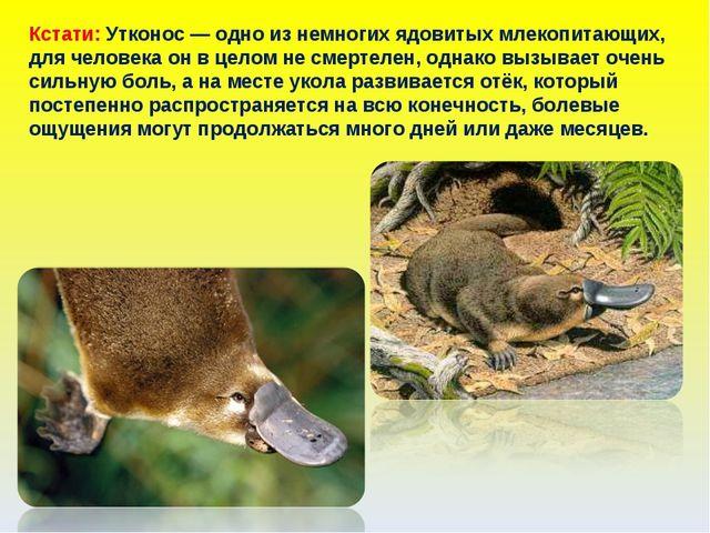 Кстати: Утконос — одно из немногих ядовитых млекопитающих, для человека он в...