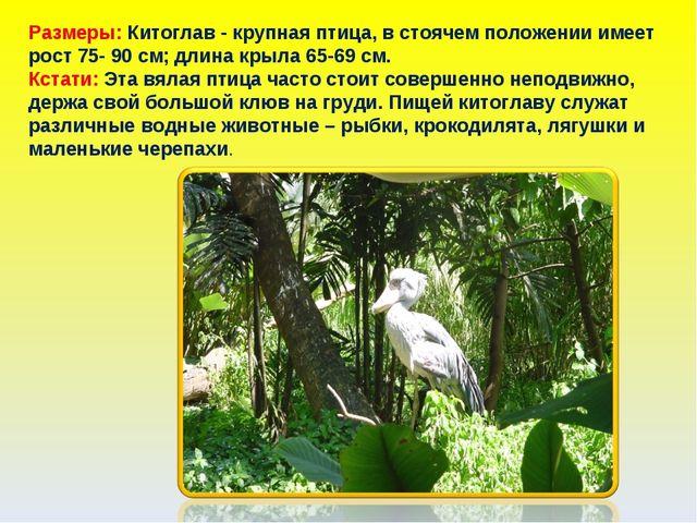 Размеры: Китоглав - крупная птица, в стоячем положении имеет рост 75- 90 см;...