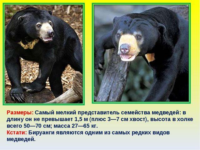 Размеры: Самый мелкий представитель семейства медведей: в длину он не превыша...