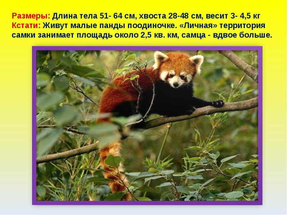 Размеры: Длина тела 51- 64 см, хвоста 28-48 см, весит 3- 4,5 кг Кстати: Живут...