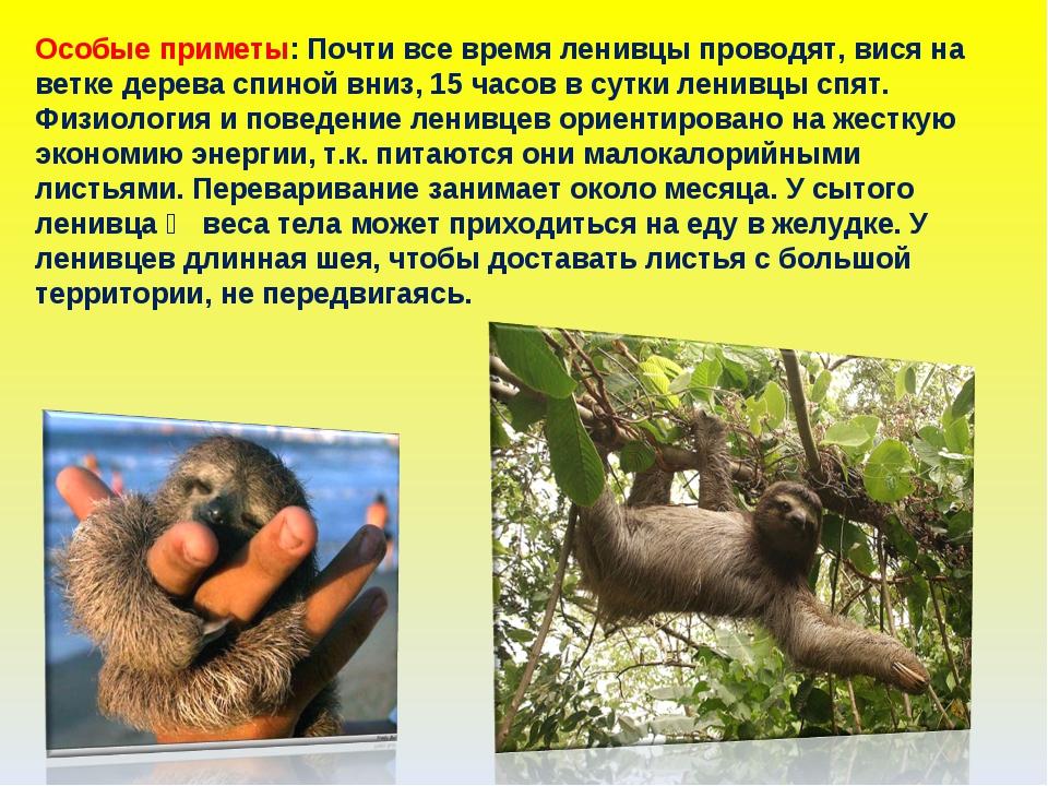 Особые приметы: Почти все время ленивцы проводят, вися на ветке дерева спиной...