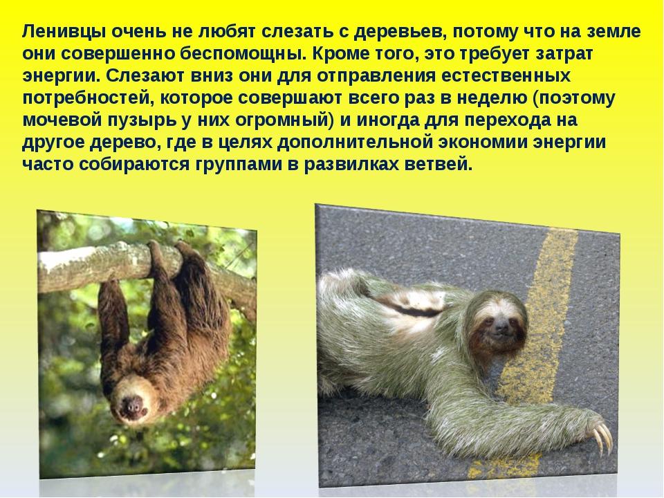 Ленивцы очень не любят слезать с деревьев, потому что на земле они совершенно...