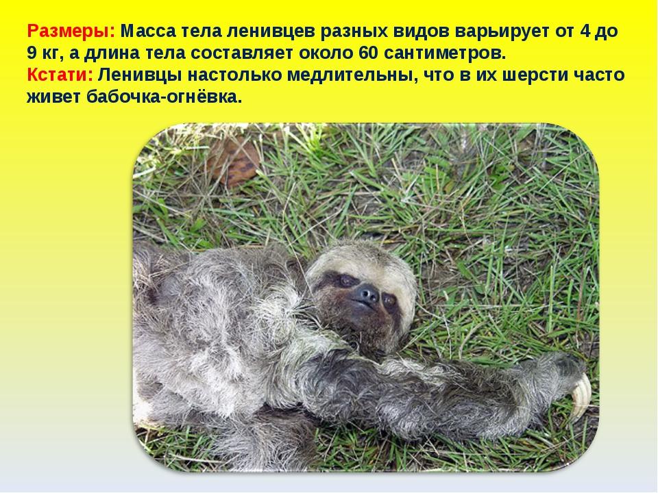 Размеры: Масса тела ленивцев разных видов варьирует от 4 до 9 кг, а длина тел...