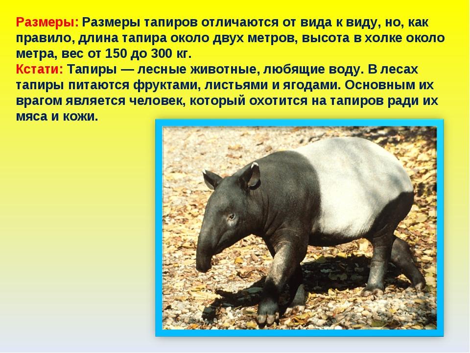 Размеры: Размеры тапиров отличаются от вида к виду, но, как правило, длина та...