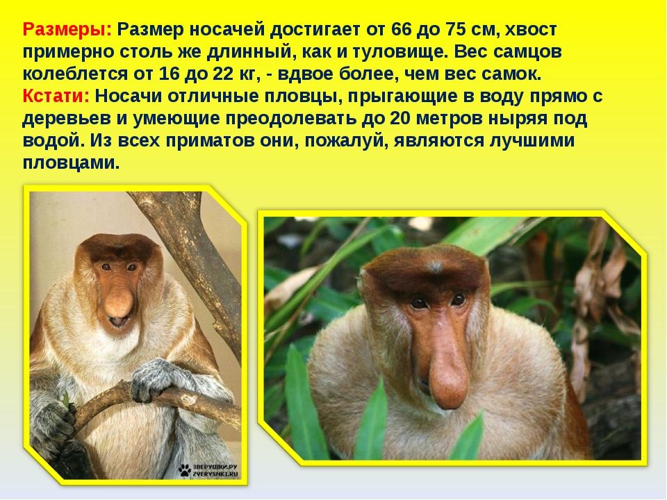 Размеры: Размер носачей достигает от 66 до 75 см, хвост примерно столь же дли...