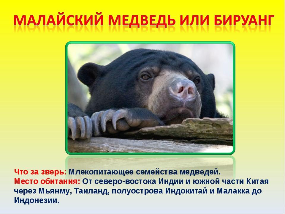 Что за зверь: Млекопитающее семейства медведей. Место обитания: От северо-вос...