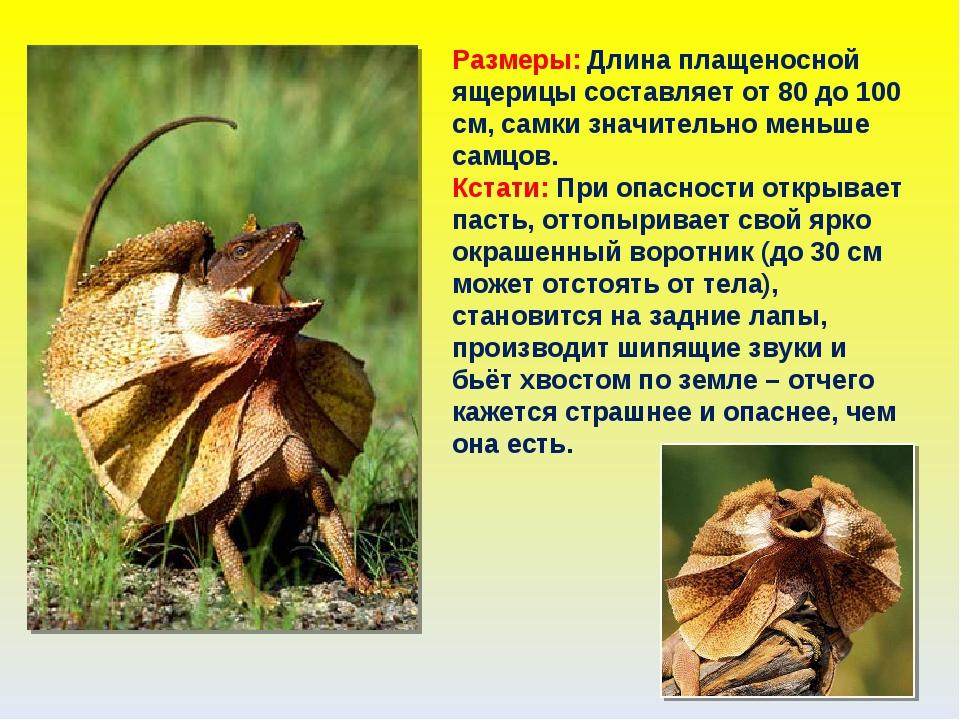 Размеры: Длина плащеносной ящерицы составляет от 80 до 100 см, самки значител...