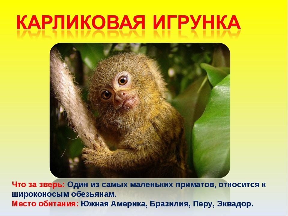 Что за зверь: Один из самых маленьких приматов, относится к широконосым обезь...