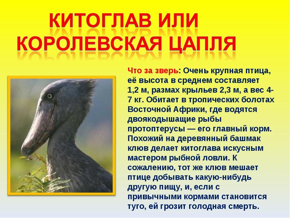 Что за зверь: Очень крупная птица, её высота в среднем составляет 1,2м, разм...