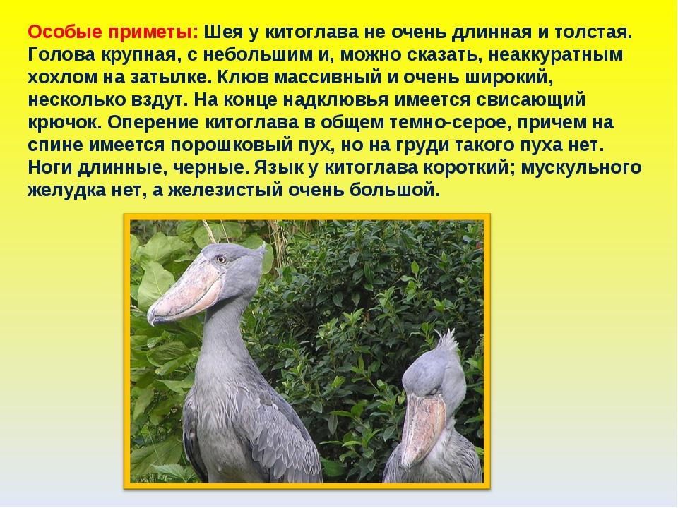 Особые приметы: Шея у китоглава не очень длинная и толстая. Голова крупная, с...