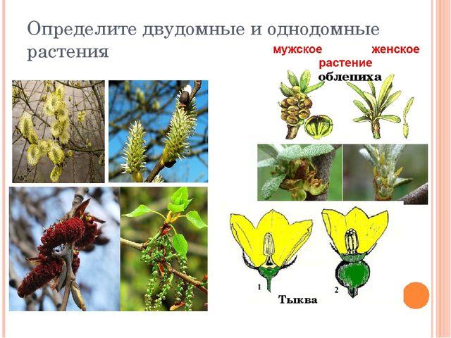 Определите двудомные и однодомные растения облепиха Тыква