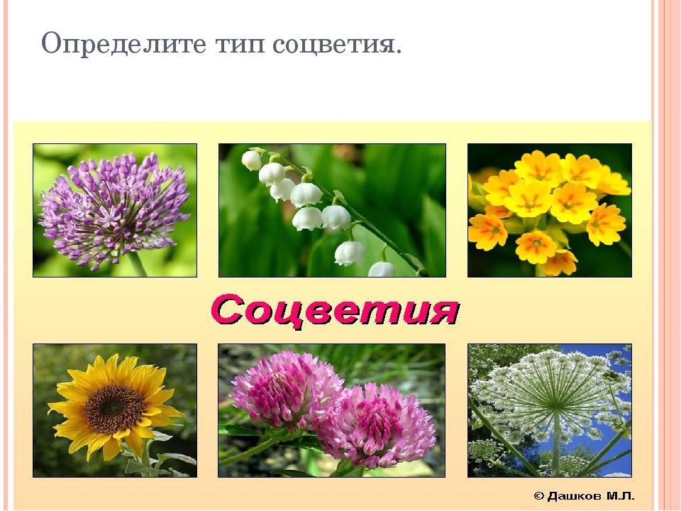Определите тип соцветия.