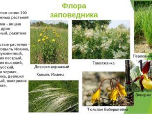 Флора заповедника Встречается около 100 видов южных растений Кустарники - виш