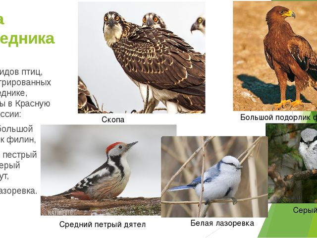 Фауна заповедника Шесть видов птиц, зарегистрированных в заповеднике, занесен...