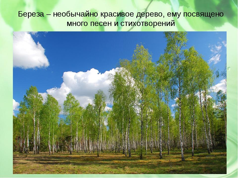 Береза – необычайно красивое дерево, ему посвящено много песен и стихотворений