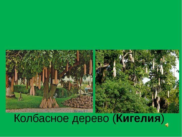 Колбасное дерево (Кигелия)