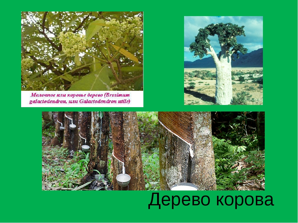 Дерево корова