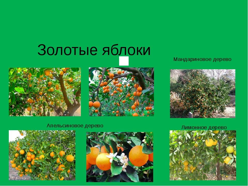 Золотые яблоки Мандариновое дерево Апельсиновое дерево Лимонное дерево