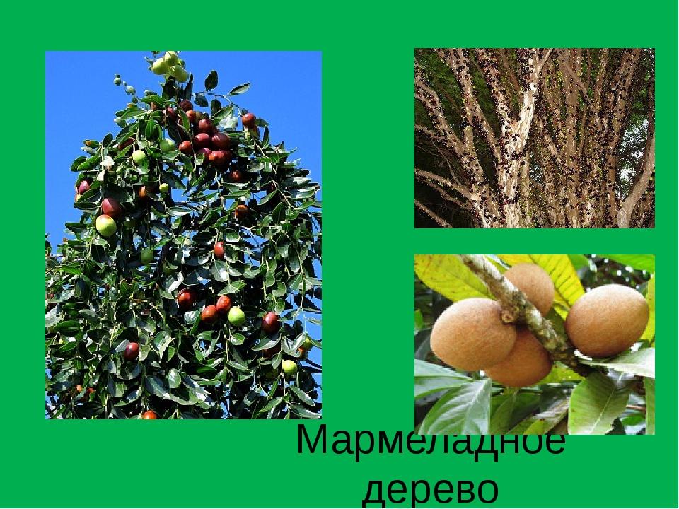 Мармеладное дерево