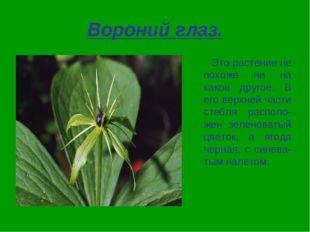 Вороний глаз. Это растение не похоже ни на какое другое. В его верхней части