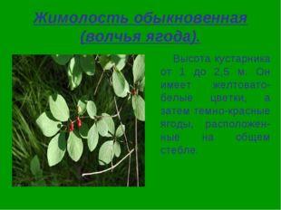 Жимолость обыкновенная (волчья ягода). Высота кустарника от 1 до 2,5 м. Он им