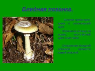 Бледная поганка. Шляпка гриба окра-шена в зеленоватый цвет. Пленчатое кольцо