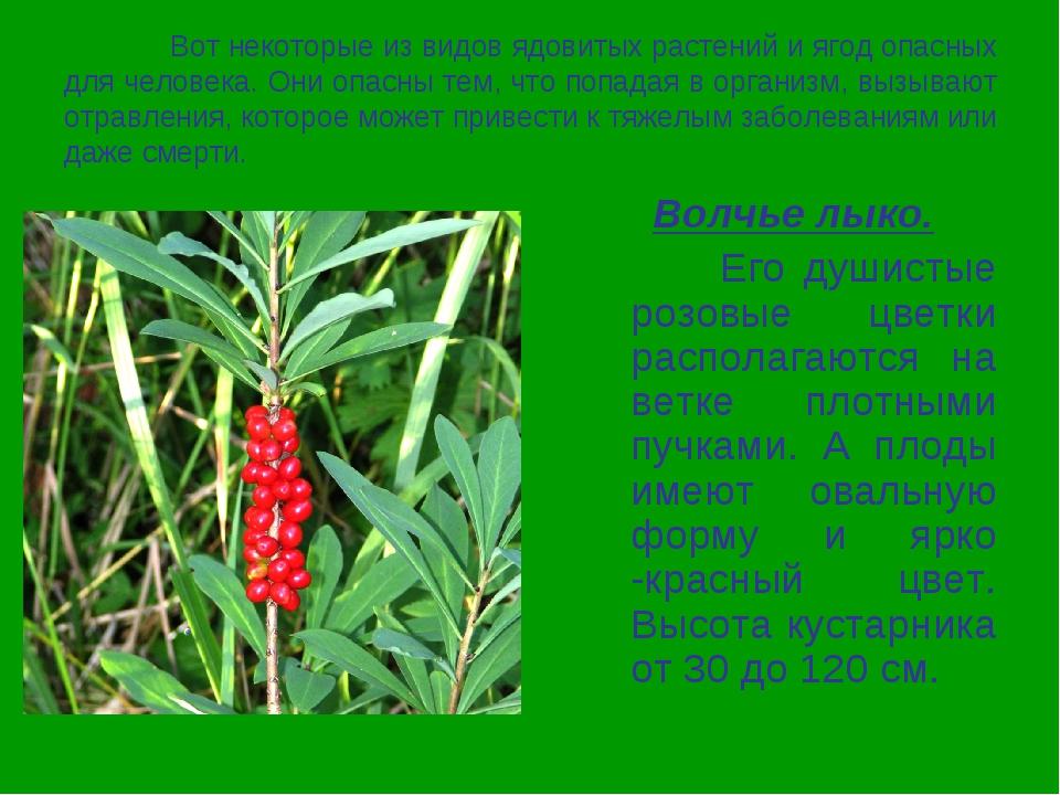 Вот некоторые из видов ядовитых растений и ягод опасных для человека. Они оп...