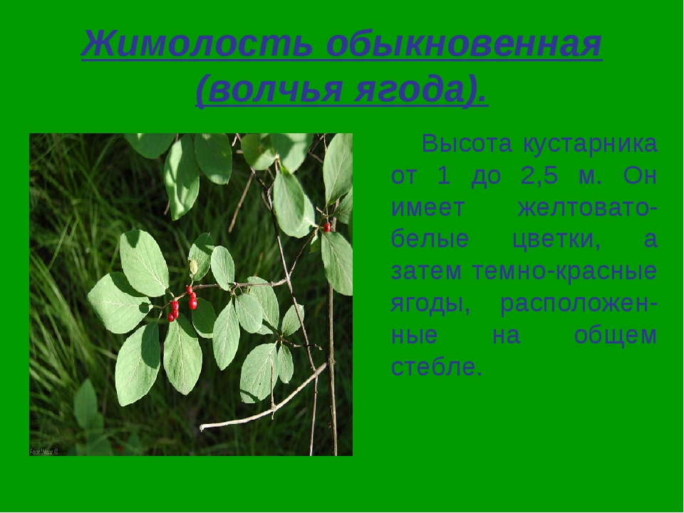 Жимолость обыкновенная (волчья ягода). Высота кустарника от 1 до 2,5 м. Он им...